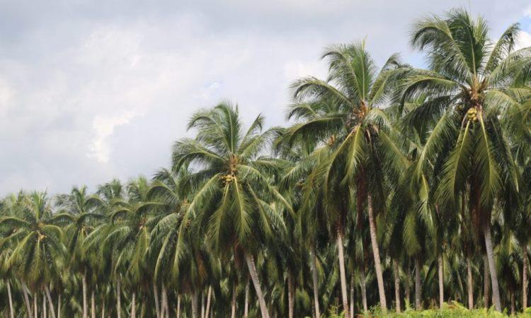 Agrowisata Kelapa