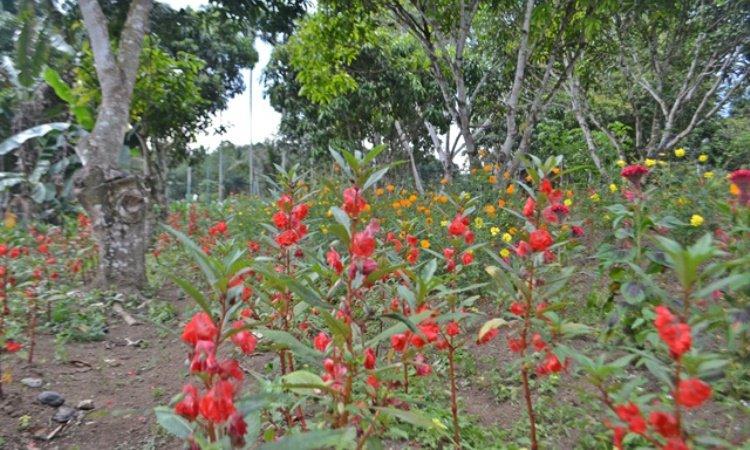 Kebun Bunga Matahari Batang Bahal
