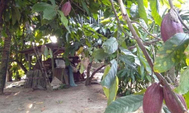 Kakao Asal Simalungun